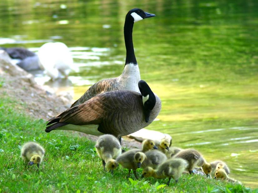 canada-goose-216015_1280
